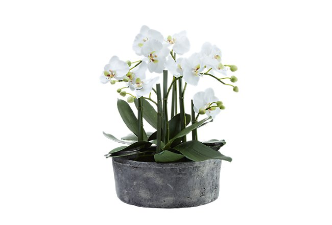 Phalaenopsis in Narrow Pot White Orchid